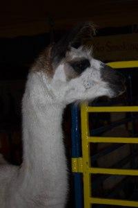 One suave llama.