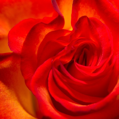 Square double delight rose